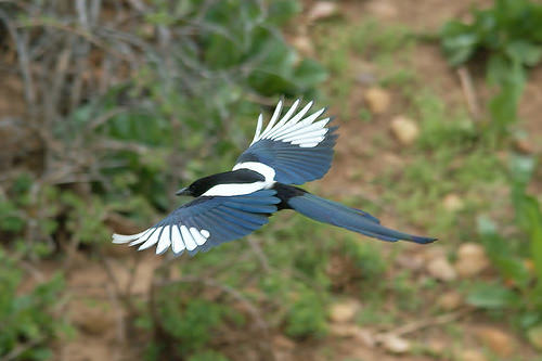 Magpie in flight