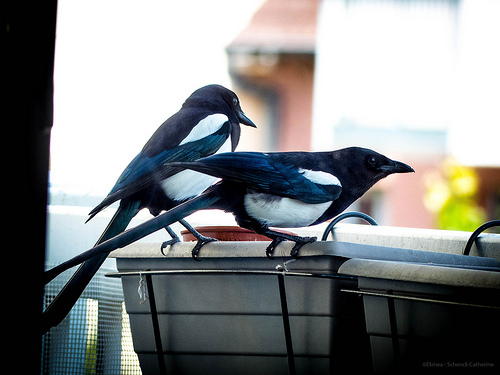 Two magpie confirmation.